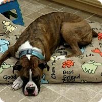 Adopt A Pet :: Snuggles *courtesy post* - Manassas, VA