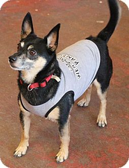 Chihuahua Mix Dog for adoption in New Orleans, Louisiana - Hans Solo