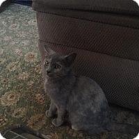 Domestic Shorthair Cat for adoption in Hazard, Kentucky - Kaylee Rosanna