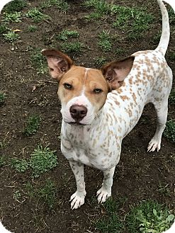 Pointer/English Setter Mix Puppy for adoption in Tumwater, Washington - Linda