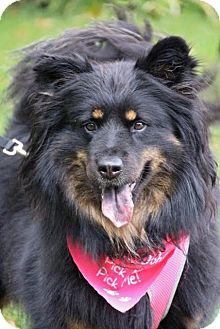 Chow Chow/Australian Shepherd Mix Dog for adoption in Fort Atkinson, Wisconsin - Maisie