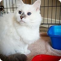 Adopt A Pet :: Snowflake - Fredericksburg, TX