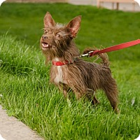Cairn Terrier Mix Dog for adoption in Phoenix, Arizona - KING