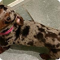 Adopt A Pet :: Lovie - San Diego, CA