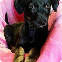 Adopt A Pet :: Akira - Los Angeles, CA