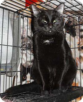 Domestic Shorthair Kitten for adoption in Merrifield, Virginia - Raspberry