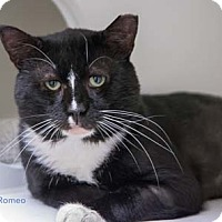 Adopt A Pet :: Romeo - Merrifield, VA