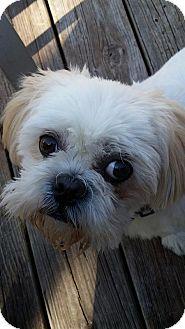 Shih Tzu Dog for adoption in Urbana, Ohio - Corey Turner