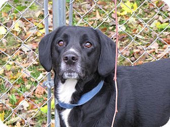 Labrador Retriever/Beagle Mix Dog for adoption in Reed City, Michigan - TANGO