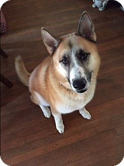 German Shepherd Dog/Akita Mix Dog for adoption in Gig Harbor, Washington - Eskimo - Courtesy Listing
