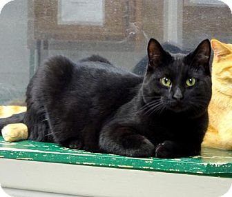 Domestic Shorthair Cat for adoption in Belleville, Michigan - Tater