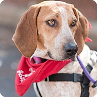 Adopt A Pet :: Bonnie Blue - Chaska, MN