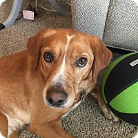 Adopt A Pet :: Cooper - Rowlett, TX
