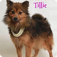 Adopt A Pet :: Tillie - Elburn, IL