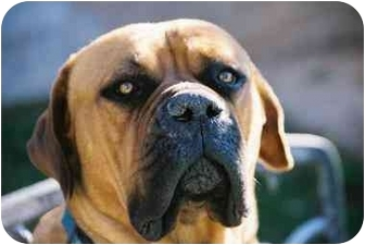 Bullmastiff Dog for adoption in Phoenix, Arizona - CALLIE