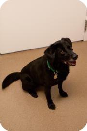 Labrador Retriever Dog for adoption in Novelty, Ohio - Lucy