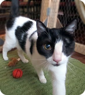 Domestic Shorthair Cat for adoption in Colville, Washington - Maria