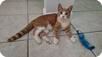 Domestic Shorthair Cat for adoption in Austintown, Ohio - Jake