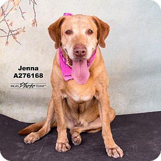 Labrador Retriever Dog for adoption in Conroe, Texas - JENNA