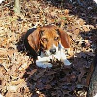 Adopt A Pet :: LINUS - Williston Park, NY