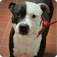 American Staffordshire Terrier/American Bulldog Mix Dog for adoption in Daytona Beach, Florida - Phantom