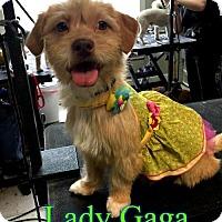 Adopt A Pet :: Lady Gaga - Pensacola, FL