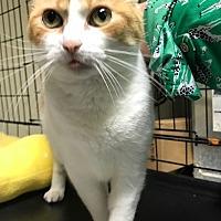 Adopt A Pet :: Snaps - Devon, PA