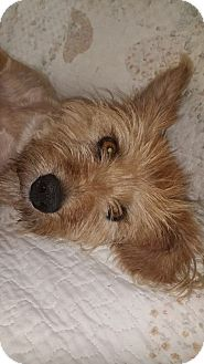 Silky Terrier/Yorkie, Yorkshire Terrier Mix Dog for adoption in Washington, D.C. - Lily