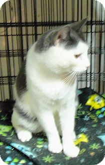 Domestic Shorthair Cat for adoption in Catasauqua, Pennsylvania - Chance