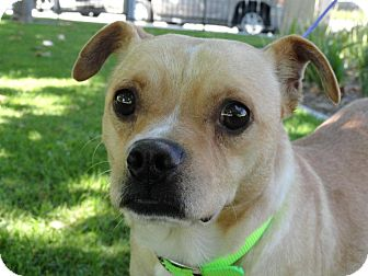 Pug Mix Dog for adoption in Poway, California - Earvin