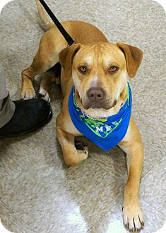 American Pit Bull Terrier Mix Dog for adoption in Yuba City, California - Midas
