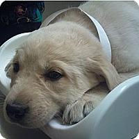Adopt A Pet :: Puppies - 1 female, 4 males - Hamilton, ON