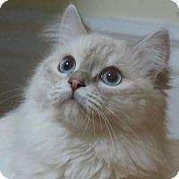 Adopt A Pet :: Cloud - Davis, CA