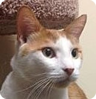 Domestic Shorthair Cat for adoption in Winchester, California - T.C.