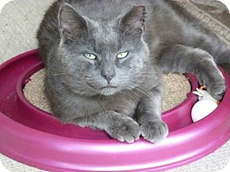 Domestic Shorthair Cat for adoption in Westwood, New Jersey - Smokey