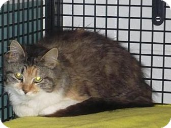 Domestic Mediumhair Cat for adoption in Mineral, Virginia - Mitzy, C22