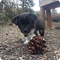 Adopt A Pet :: Milo - Puppy! - Bend, OR