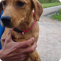 Labrador Retriever/Weimaraner Mix Puppy for adoption in Kendall, New York - Candy