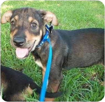 Labrador Retriever/Shepherd (Unknown Type) Mix Puppy for adoption in Houston, Texas - DeSoto