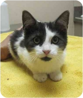 Domestic Shorthair Kitten for adoption in Bayonne, New Jersey - Tessa