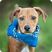 Adopt A Pet :: Romeo-local! - East Hartford, CT