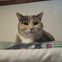 Domestic Shorthair Cat for adoption in House Springs, Missouri - Kelsey