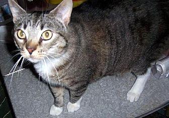 Domestic Shorthair Cat for adoption in Liberty, North Carolina - Murphy - NC