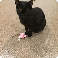 Domestic Shorthair Cat for adoption in Boca Raton, Florida - Purdy