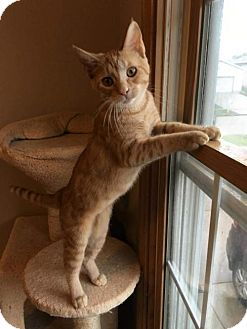 Domestic Shorthair Cat for adoption in Bloomington, Illinois - Smooch
