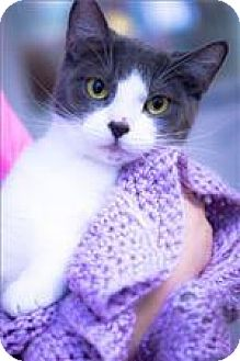 Domestic Shorthair Cat for adoption in Freeport, New York - Luna