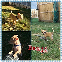 Adopt A Pet :: Benji - bridgeport, CT