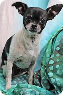 Chihuahua/Rat Terrier Mix Dog for adoption in Bedminster, New Jersey - Howie