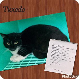 American Shorthair Cat for adoption in California City, California - Tuxedo