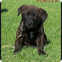 Adopt A Pet :: Porter - Milford, NJ